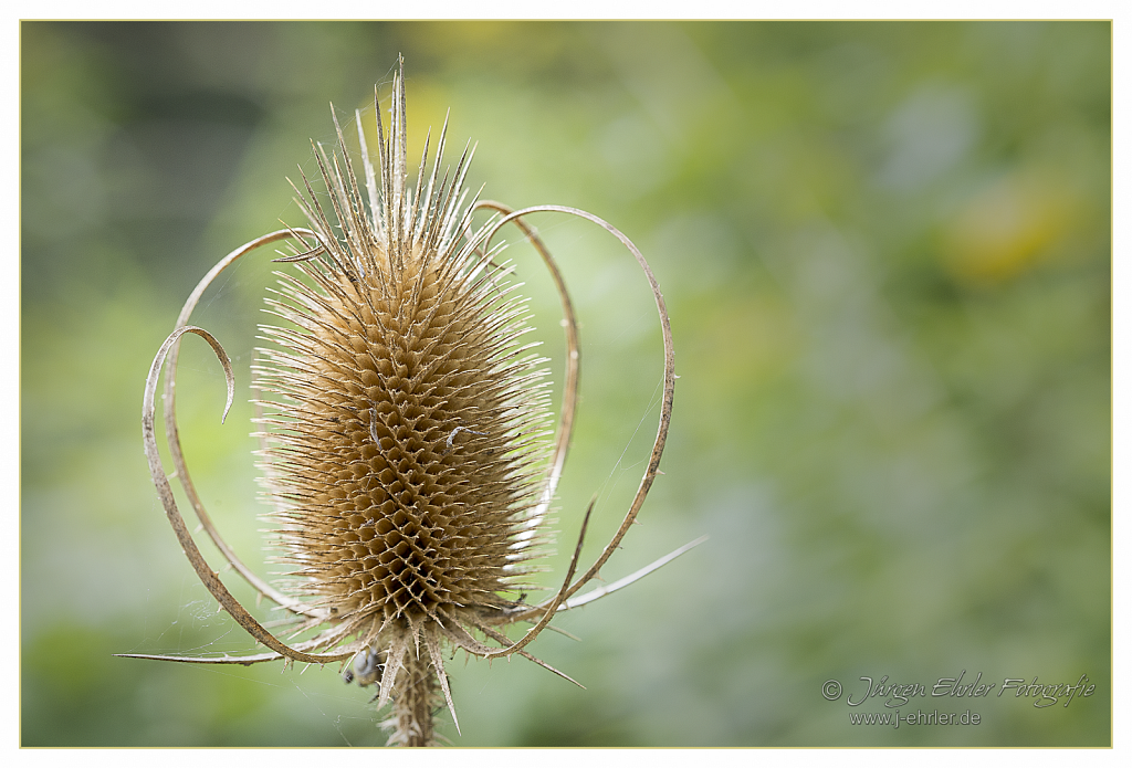 """Wilde Karde"" (Distel-Art)"